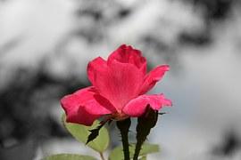 rose-186331__180